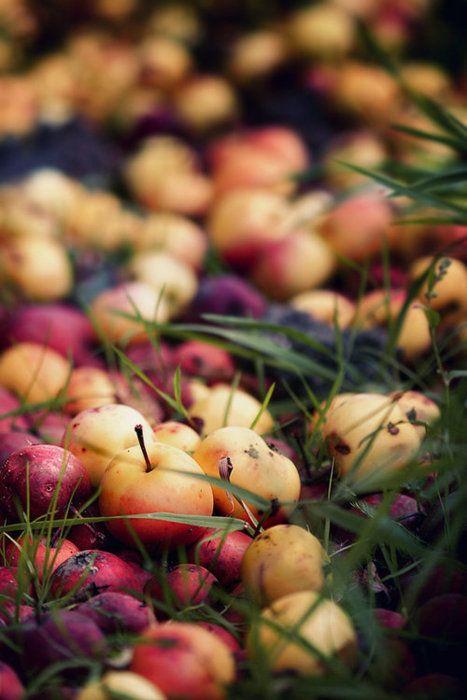 Ramassons des pommes pour en faire une bonne compote maison !