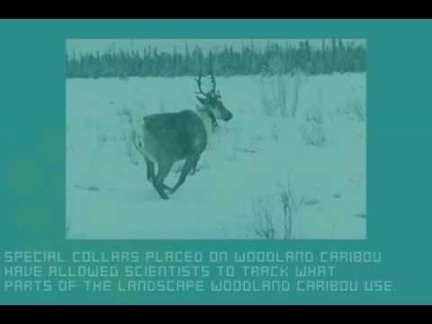 Caribou - Alberta