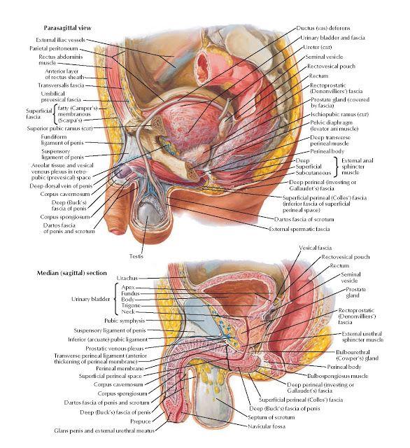 Pelvic Viscera And Perineum Male Anatomy Parasagittal View