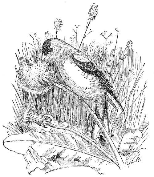 coloring pages goldfinch - photo#13