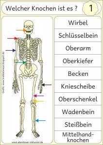 Das menschliche Skelett……