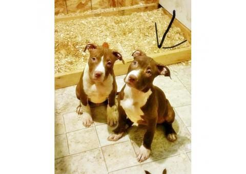 american bully dog for sale