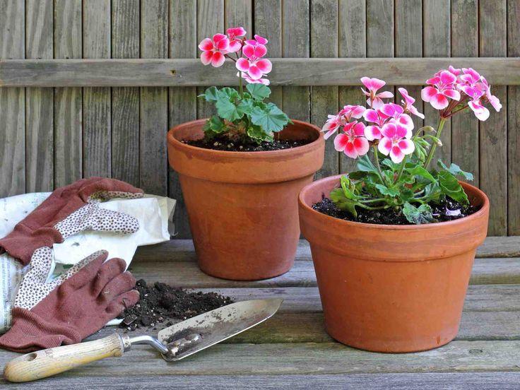 Talvettaminen on tapa säilyttää pihan ruukkukasvit talven yli. Melko helppoja talvetettavia ovat esimerkiksi ruukkuruusut ja mukulakasvit.