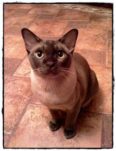 Burmese Kittens For Sale on Pinterest | Tonkinese Kittens For Sale ...