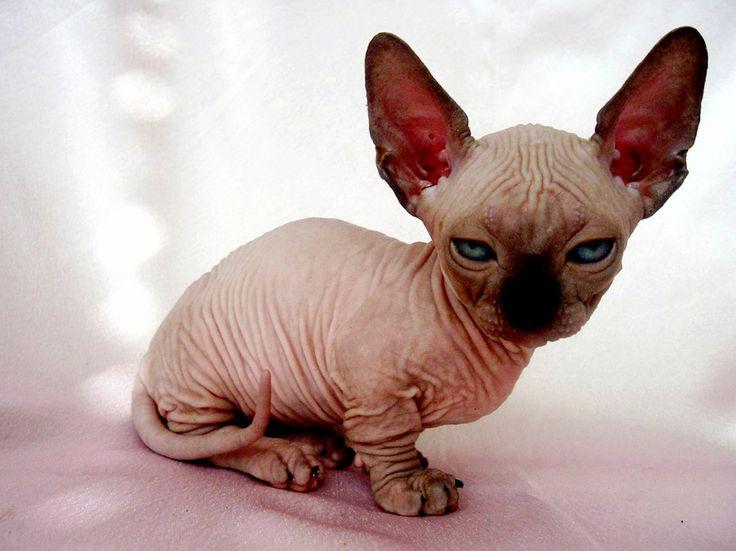 Katze Haarlose Munchkin-Katze ift.tt/2ocK5Cb   – Cat Breeds