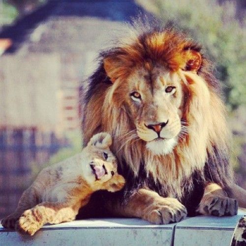 """On his robe at his thigh was written this title: King of all kings and Lord of all lords. "" Rev 19:16 He is the Lion of the Tribe of JUDAH and he Loves me! ******** I'm Yours!"