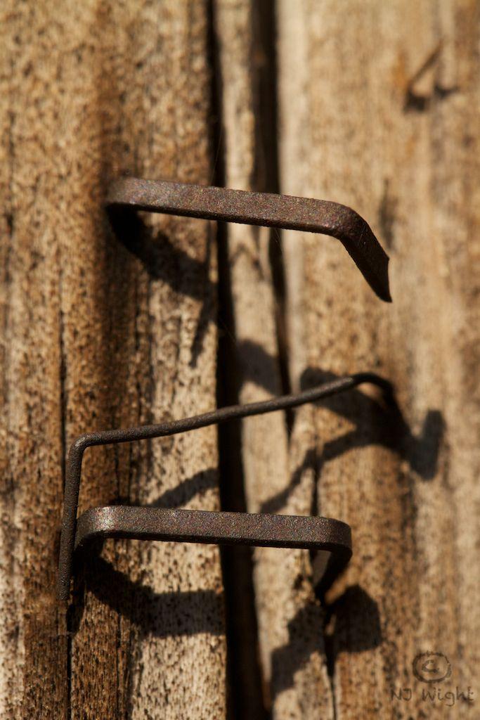 Rusty staples on wood