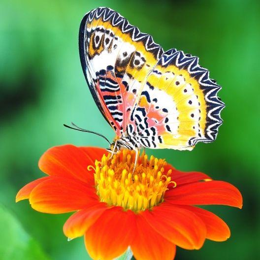 Best 20 Mexican Sunflower Ideas On Pinterest