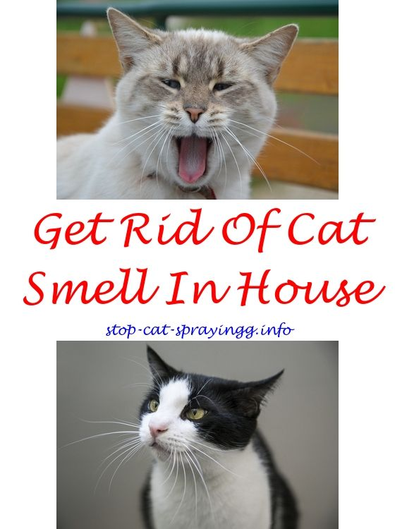 Cat Pee Out Of Mattress Cats Male Cat Spraying Cats Smelling