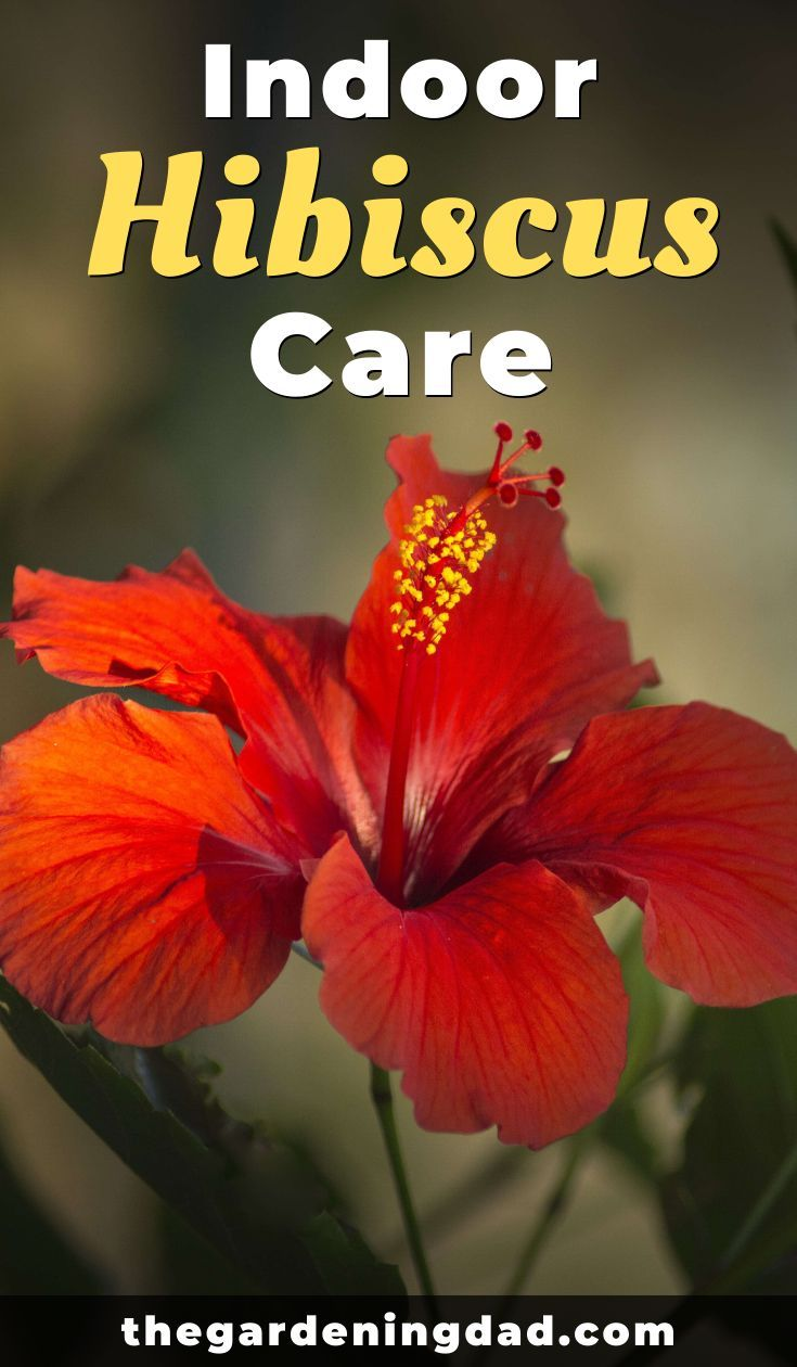 Ultimate Guide To Hibiscus Care Indoors The Gardening Dad In 2020 Hibiscus Plant Hibiscus Tree Growing Hibiscus