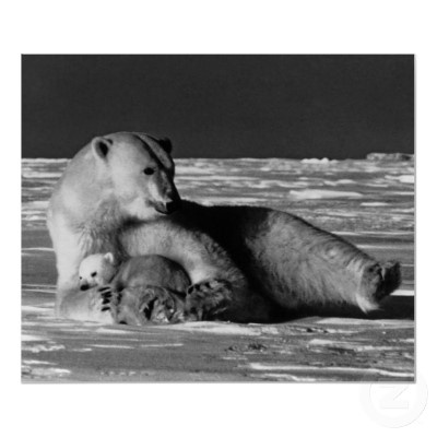 #Buy #purchase #digital #photography #photograph #photo #picture #image #print #1970s #1970 #download #file #antique #old #vintage #archive #historic #historical #hight #resolution #bw #black #white #stock #collection #licence #royalty #free #RF America USA Alaska mother polar bear 1970 $9.95
