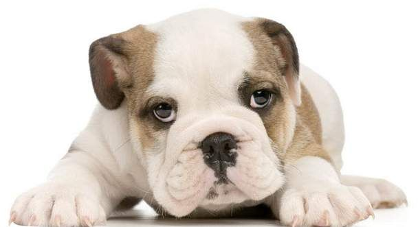 french bulldog puppies omaha 10 best pet friendly places in omaha images on pinterest 3788