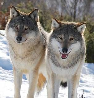 Norwegian wolf culling cancelledDecember 20, 2016 - The Norwegian Minister of Climate and Environment, Vidar Helgesen, has overturned the decision to cull 2/3 of the Norwegian wolf population. The four wolf packs in Letjenna, Slettås, Kynna and...