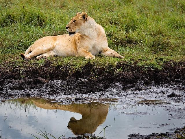 Lioness resting by gcraig3si, via Flickr