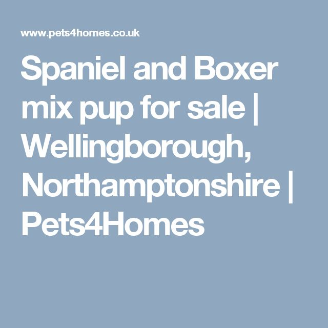 Spaniel and Boxer mix pup for sale | Wellingborough, Northamptonshire | Pets4Homes