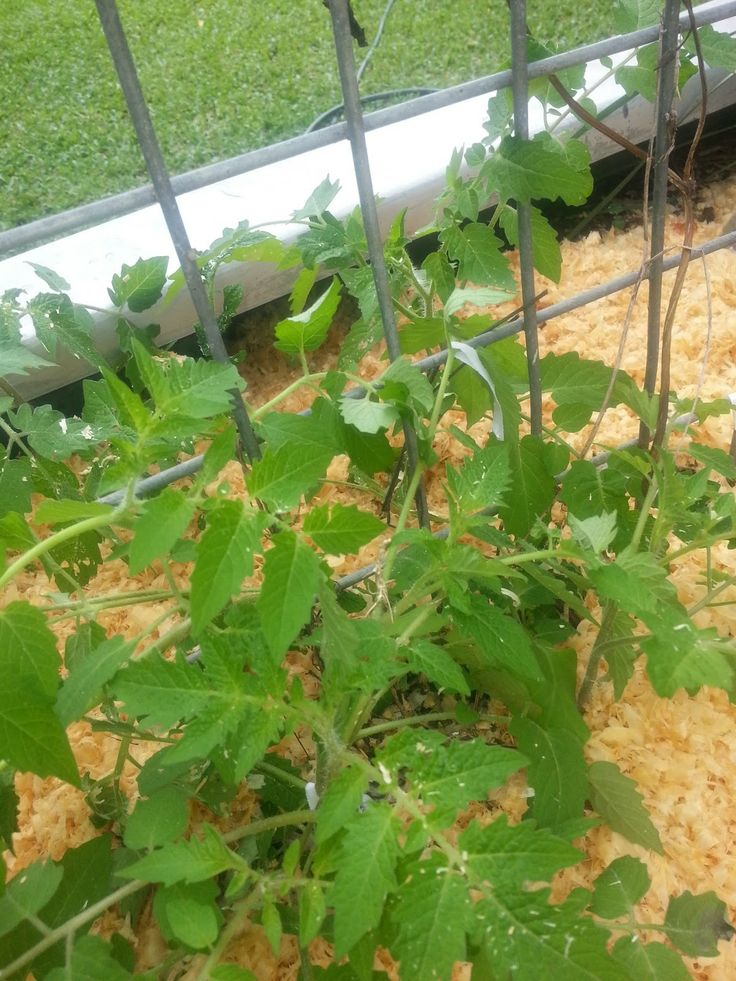 Tropical Gardening : Tiny Cherry Tomato seedlings planted from seeds saved from last years fruit.