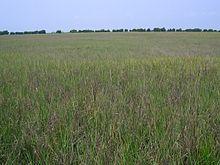 Salt marsh - Wikipedia