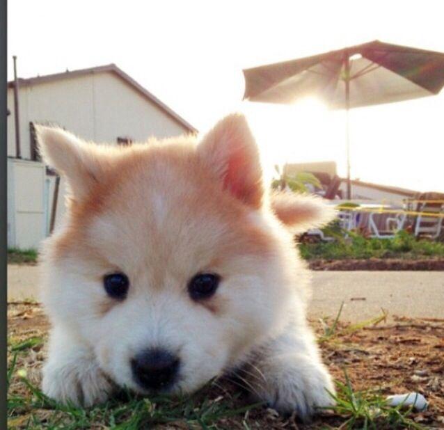 A Chowsky!!  Chow chow + Siberian Husky = Chowsky.  So cute!