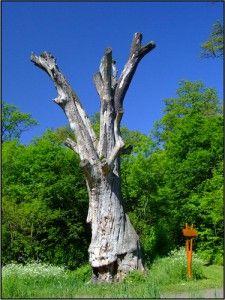 Parádfürdő, Rákóczi-fa