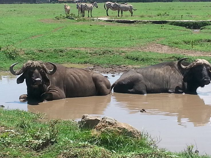 Drowning the ticks in Nakuru national park, badass buffalos, click here: http://nairobinationalparktours.com/blog/323-1-day-nairobi-tours-safaris-kenya-day-trips.html