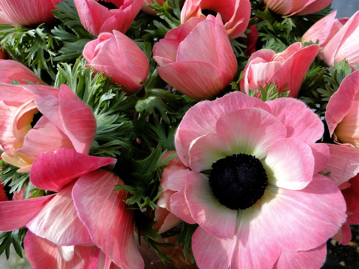 Anemonen    Young Plants by www.combinations.eu