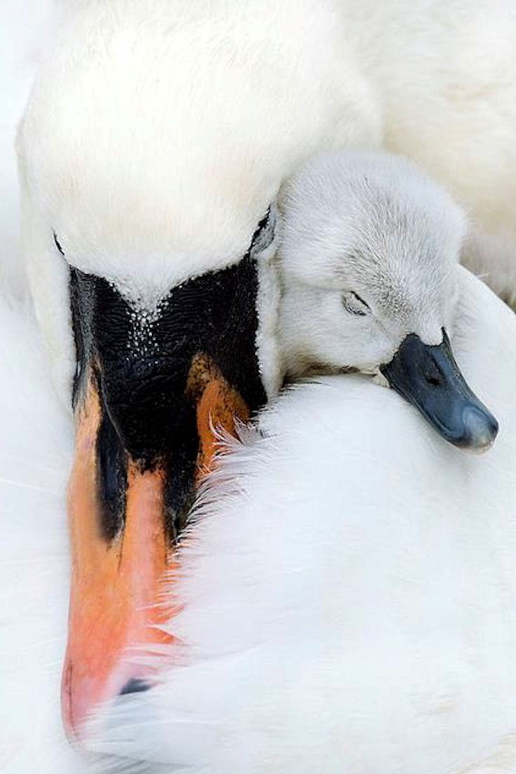 Mother and baby swan love❤️