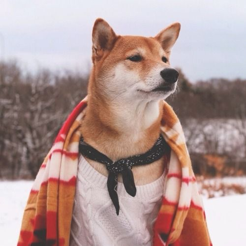there's a tumblr with a shiba who models menswear. you're welcome.