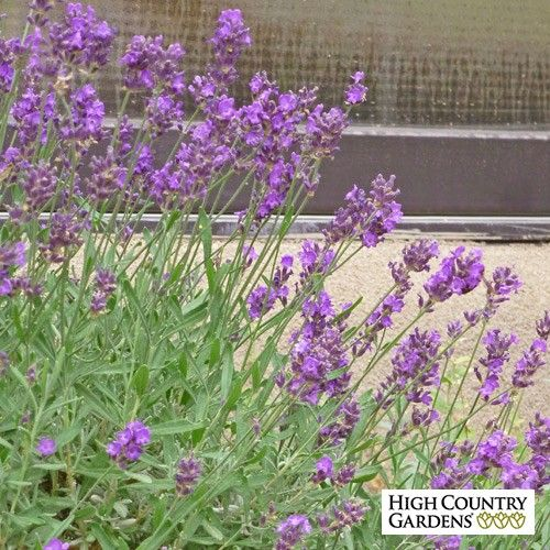 Lavandula angustifolia Munstead Violet; Munstead Violet English Lavender has some of the darkest colored flowers with dark blue calyxes and outstanding violet-blue corollas over nice silver-gray foliage. Drought resistant/drought tolerant plant