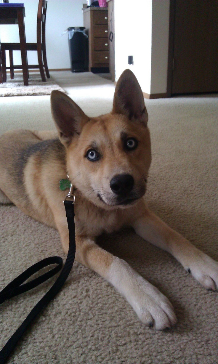 Pin Coyote Husky Mix Pictures Image Search Results on Pinterest