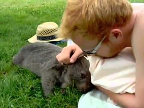 Wombat pet - YouTube.  This is a baby wombat... here it acts so much like a cat or a dog.  So cute.