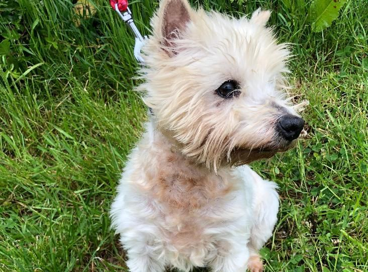 Judy Find A Pet Rspca Org Uk Dog Id White Terrier