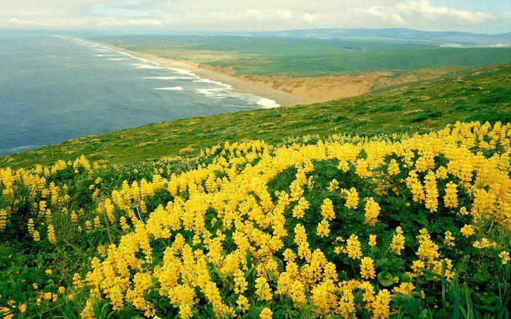 Wild Lupines Point Reyes National Seashore California