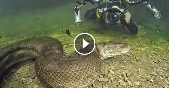 Swiss Diver Finds An Enormous Giant Anaconda in Brazil
