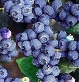 Vaccinium corymbosum 'Bluecrop' - Kékáfonya