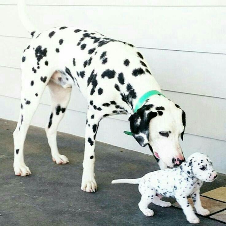 Beautiful mom and baby Dalmatians