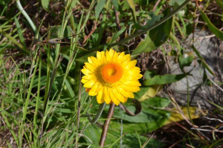 Paper daisy on Alexandria bay coastal track