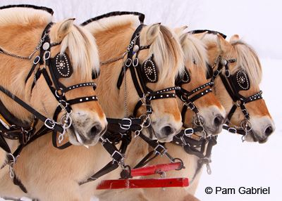 Norwegian Fjord horses in harness