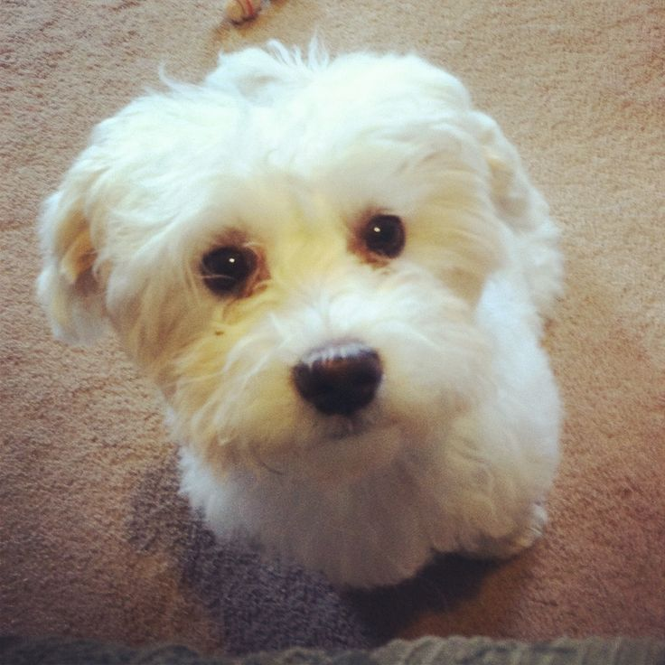 Sweetie the maltipoo - Maltese / poodle mix | Dogs ...