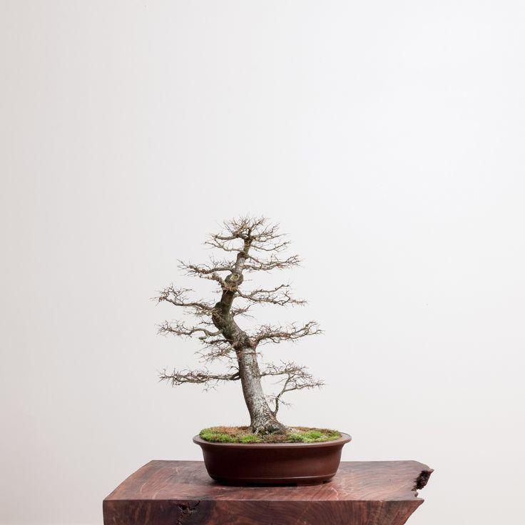 Japanese Zelkova | Bonsai Mirai