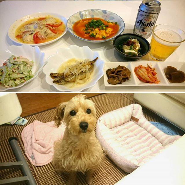今日の夕飯🌃🍴 今日はレントゲンを撮りに行ってきたらまぁこのままちゃんと固定してれば大丈夫って… いつまで痛いんですか?って聞いたら人にもよるけど2、3週間かなだって😥 でも🏠に貰い物🍺がいっぱいあったのでとりあえず9日ぶりに飲んでみた😆 🏠ではほとんど🍺を飲まないのであまり美味しくなくてすぐに焼酎水割りに変えた😜 #シュナプー#shunapu#犬#dog#ミックス#Mix#愛犬#petdog#可愛い#lovely#cute#instadog#instagood#follow#幸せ#happy#癒し#おうちごはん#居酒屋メニュー#かに玉#むね肉とトマトチーズ#ゴーヤとカニかまサラダ#ししゃもマリネ#砂肝醤油煮#こんにゃく煮#しらすラー油奴#instafood#家のみ