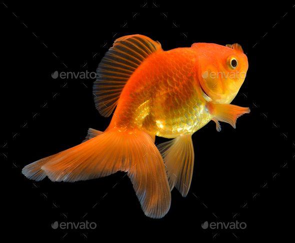 Gold Fish On Black Goldfish Tropical Fish Aquarium Fish