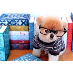 When Boo was studious. | 42 Times Boo And Buddy Were The Cutest Dogs In The World In 2014