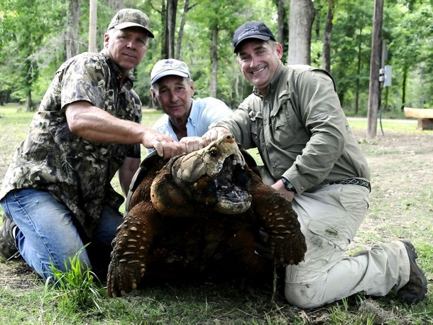 Alligator Snapper turtle. Weighting at 192 pounds one of ...  Alligator Snapp...
