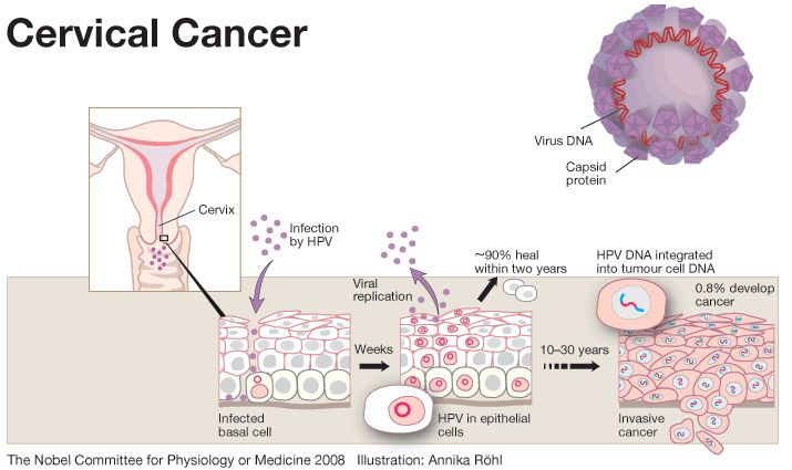 Here's how viruses inactivate the immune system, causing cancer