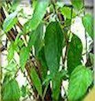Receitas caseiras com plantas e ervas medicinais que curam e tratam várias doenças: Alecrim Pimenta cura Afeccções da pele, impingem, mau ch...