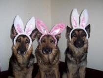 Your German Shepherd Dog and Halloween.  http://www.examiner.com/german-shepherd-in-akron/your-gsd-and-halloween