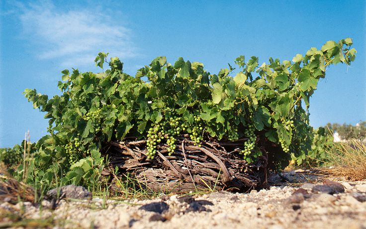 Santorini: An Historical Wineland