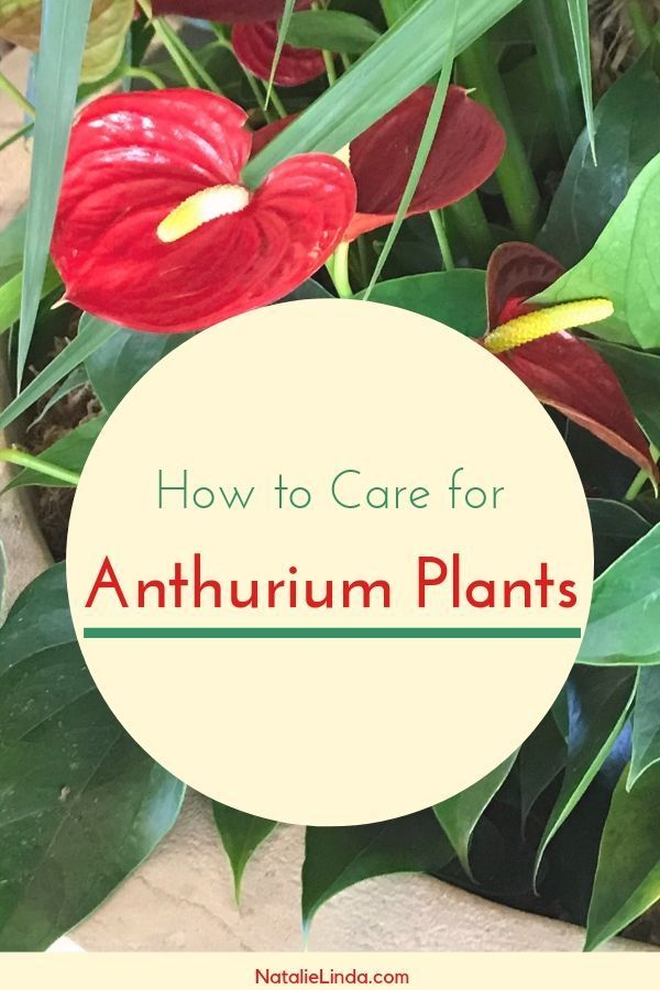 Anthuriums How To Care For This Long Blooming And Tropical Houseplant Plants House Plants How To Water Succulents