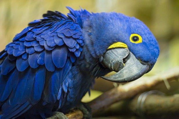 المكاو الازرق او ببغاء المكاو الياقوتي كل ماتود معرفته حول هذا الطائر طيور العرب Pet Birds Parrot Wallpaper Macaw