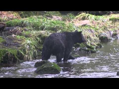 Great Bear Rainforest - Broadcast - Media Viewing